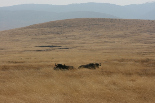 A pair of Cape Buffalo barely visible over the high grasses