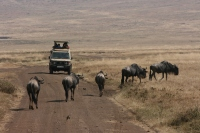 Ngorongoro Crater 9 - Wildebeests
