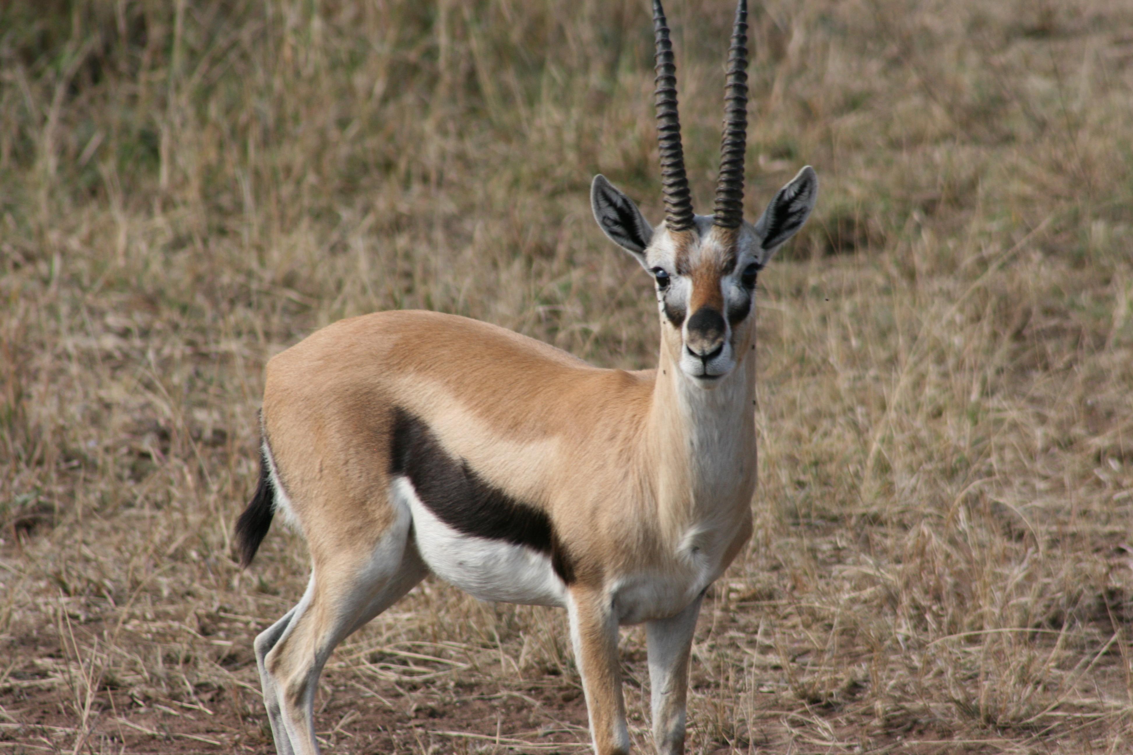 Serengeti 13 thompson s gazelle temporarily lost for Gazelle cuisine n 13