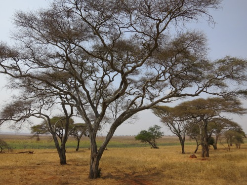 Acacia Trees in the Tarangire National Park