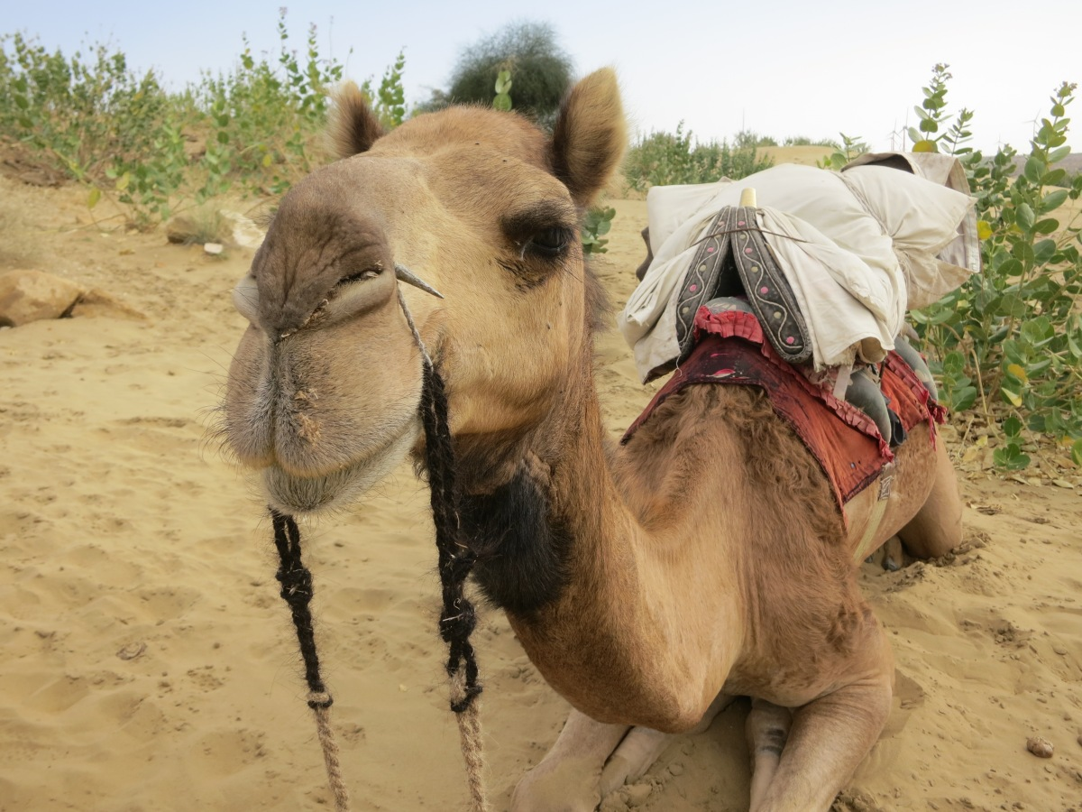 Camel Safaris and Sand Dunes in Jaisalmer