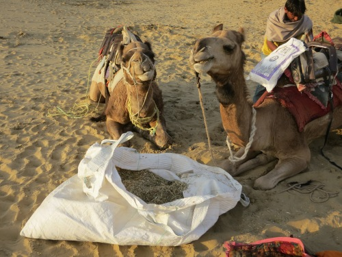 Breakfast for the camels