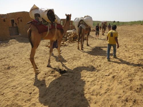 Camel Safari 41