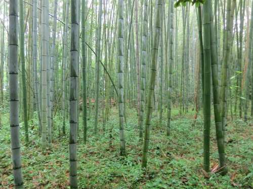 A quite stroll through the Bamboo Grove in Arashiyama