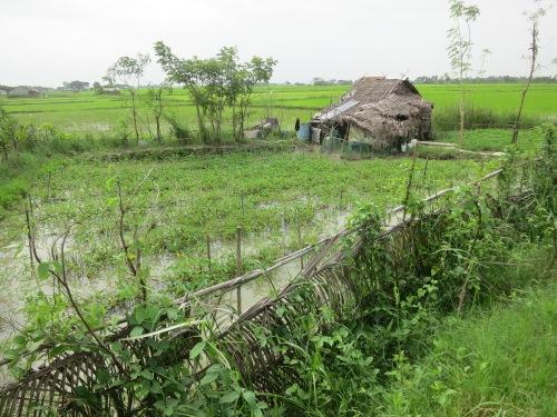 Dalah 21 - Rice Fields