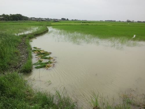 Dalah 23 - Rice Fields