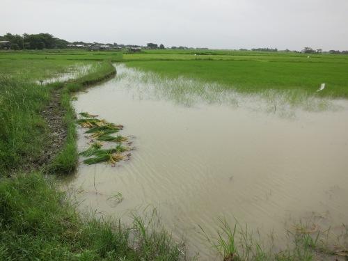 Dalah 23 - Rice Fields