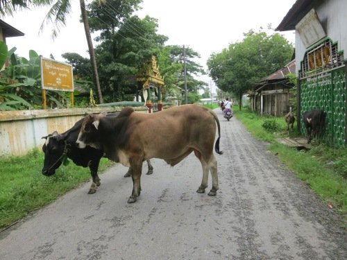 Cows and livestock also have free reign to wander around the area