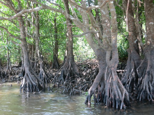 Getting a closer look at the mangroves swamps
