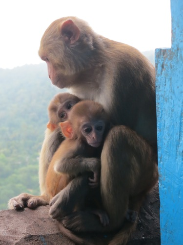 Mount Popa 54 - Monkey