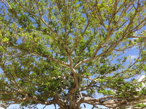 Shuri-jo 26 - Cool Tree