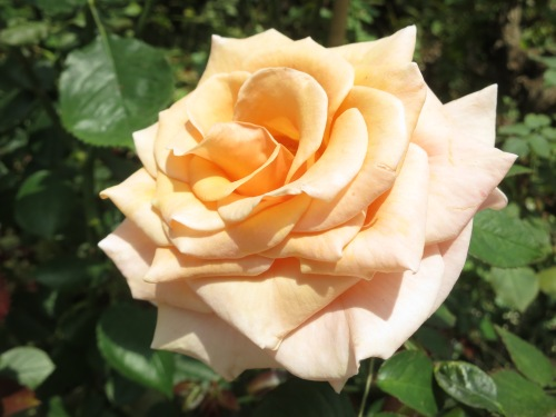 A particularly beautiful rose